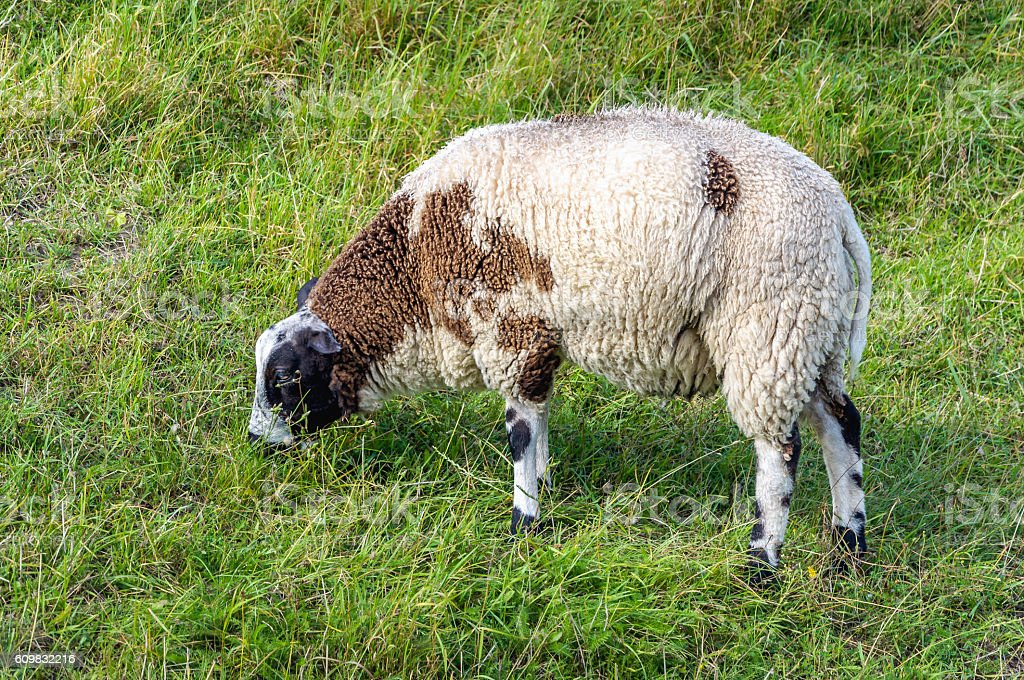 Soft and cuddly sheep grazing in the grass stock photo