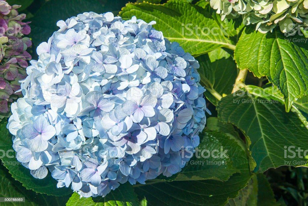 soft blue hydrangea bloom stock photo