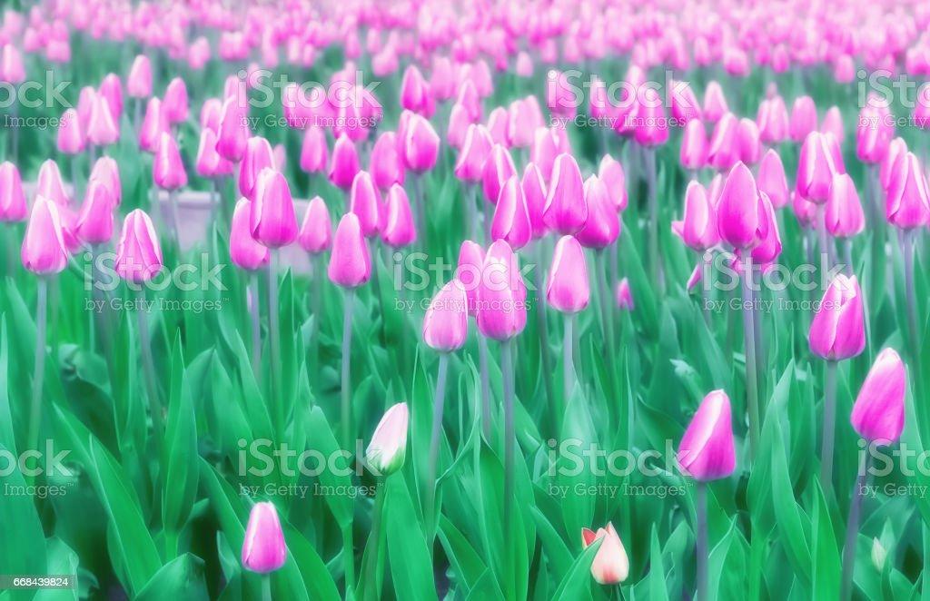 Soft Blur Lilac Tulips Field stock photo