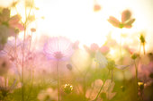 soft blur of cosmos flowers in the pastel tone