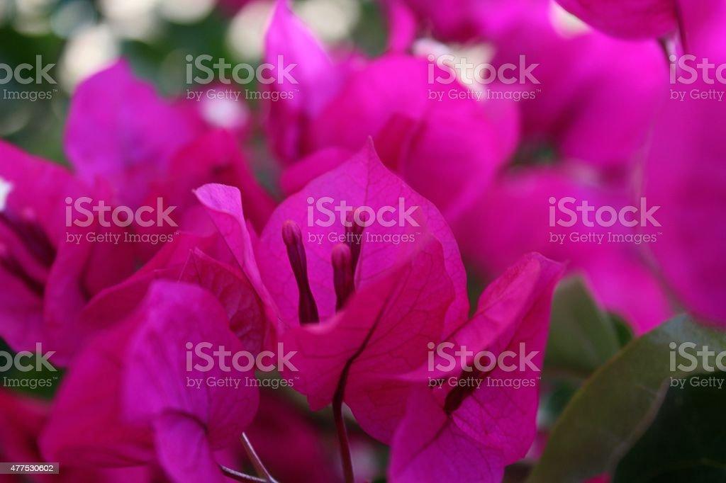 Soft Bouganvillea in Fuchsia stock photo