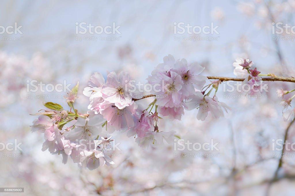 Soft cherry blossom stock photo