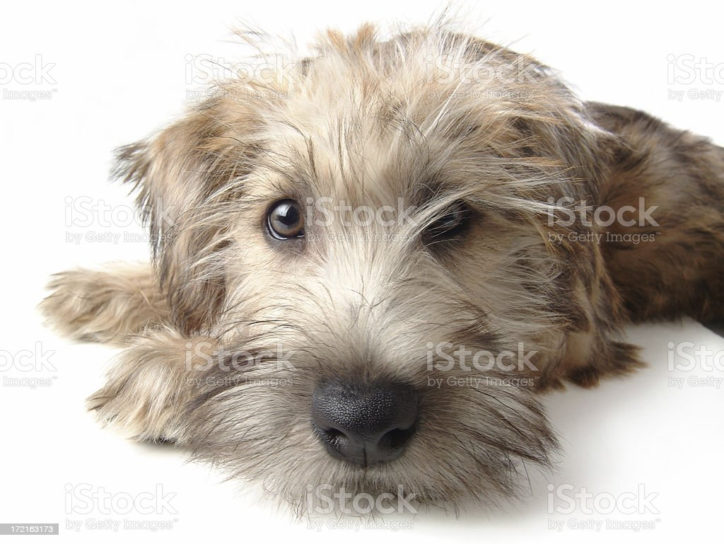 Soft Coated Wheaten Terrier Laying Down on White Background stock photo