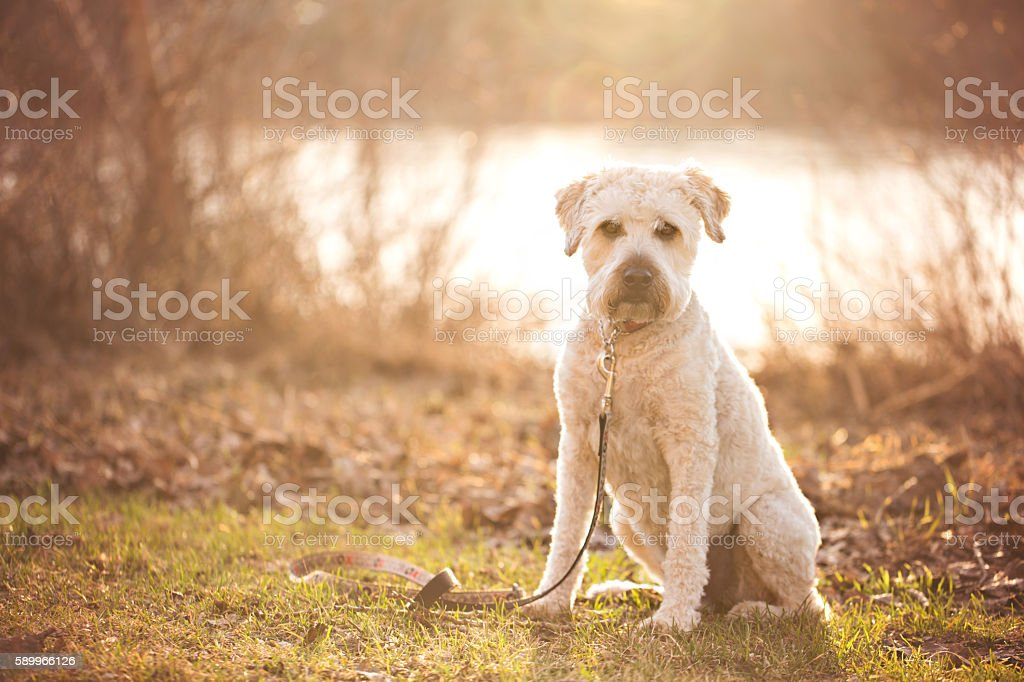 Soft Coated Wheaten Terrier stock photo