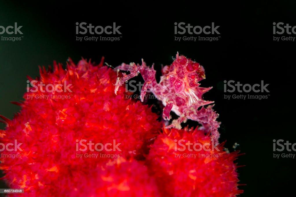 soft coral crab - hoplophrys oatesii stock photo