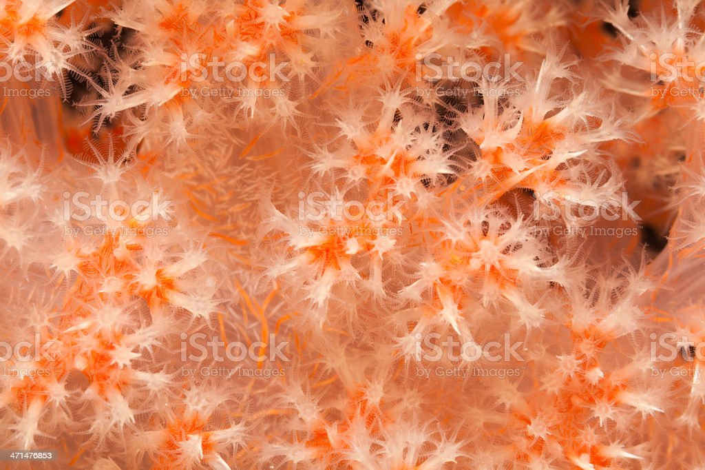 Soft Coral Dendronephthya sp., Pantar Strait and Island, Indonesia stock photo