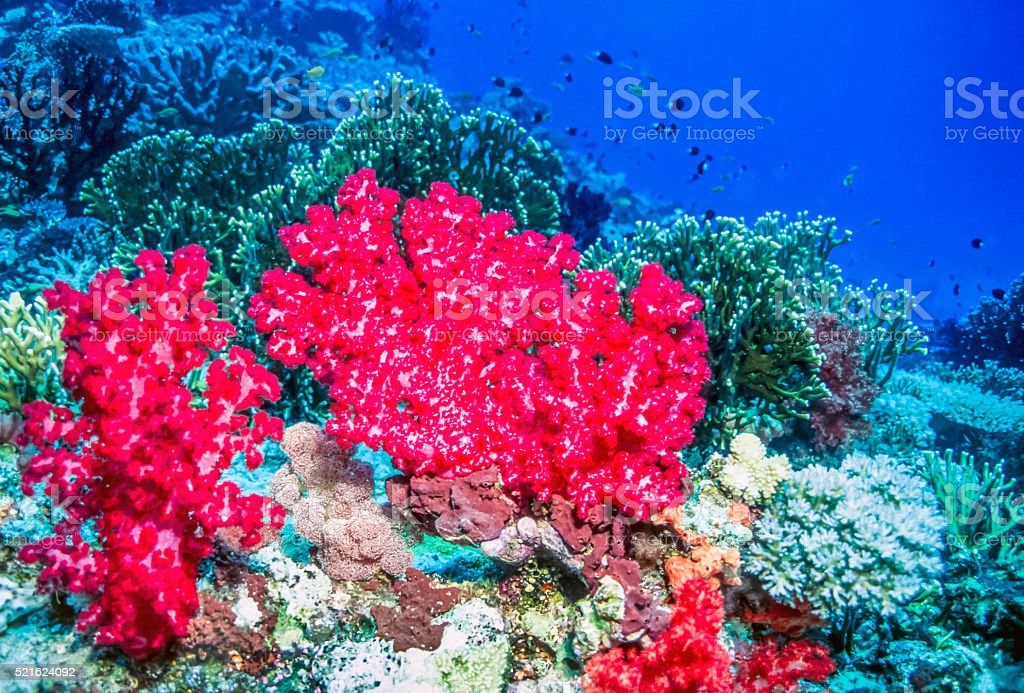 Soft coral off the coast of Tavueni Fiji stock photo