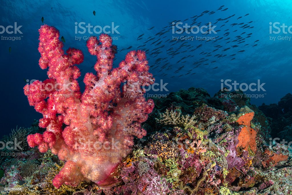 Soft coral reef scene with fish shoal in the background stock photo