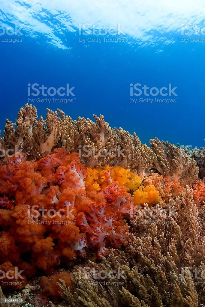 Soft coral reefscape Indonesia Sulawesi royalty-free stock photo