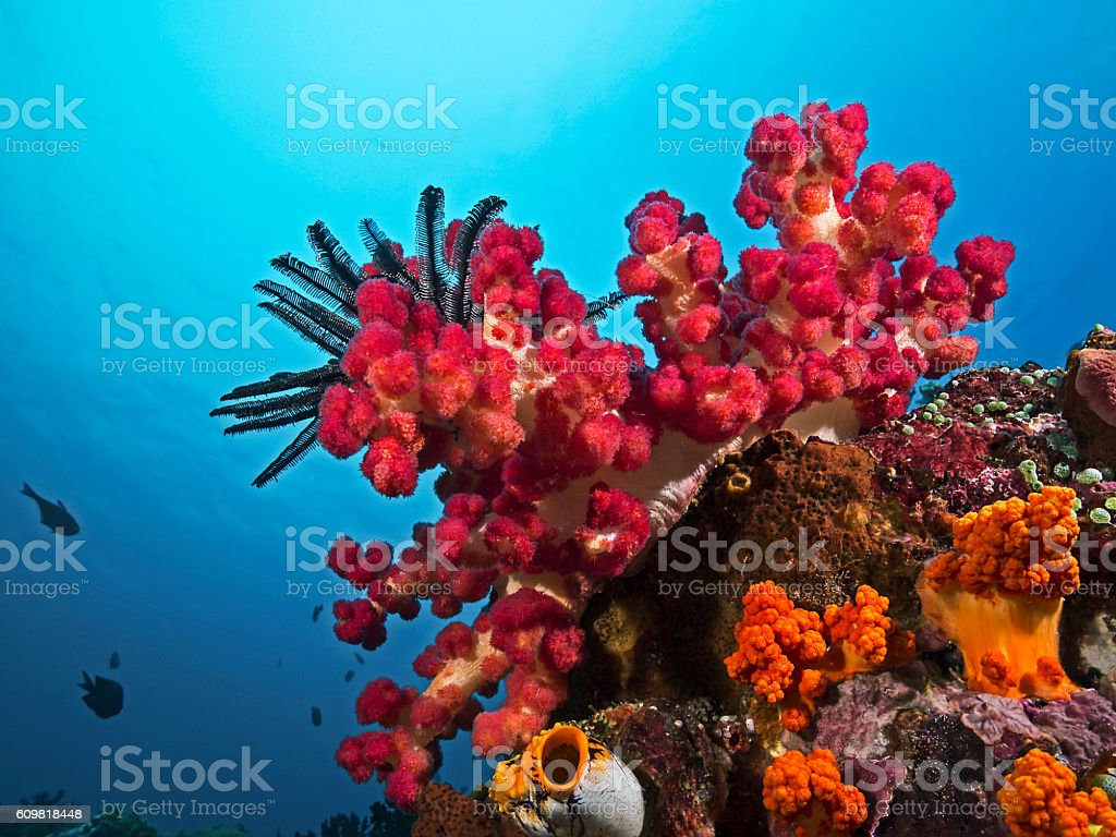 Soft Coral, Stachlige Weichkoralle (Stereonephthya sp) stock photo