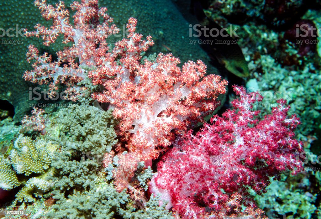 Soft coral (medium format) - Thailand royalty-free stock photo