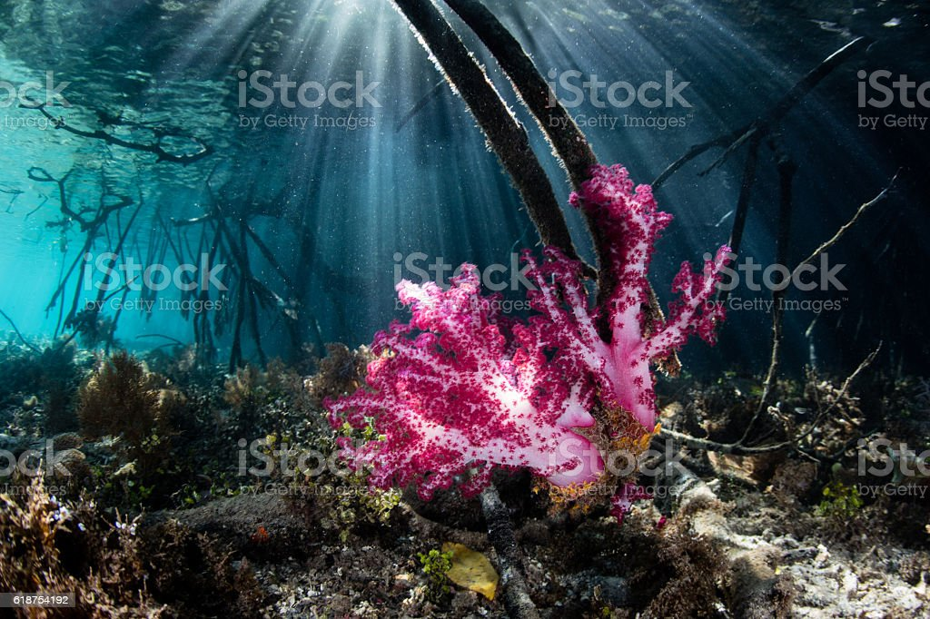 Soft Corals in Blue Water Mangrove stock photo