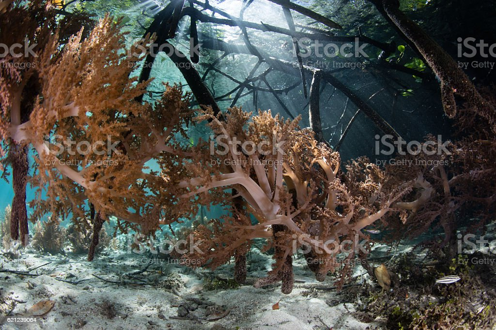 Soft Corals in Blue Water Mangrove, Raja Ampat stock photo