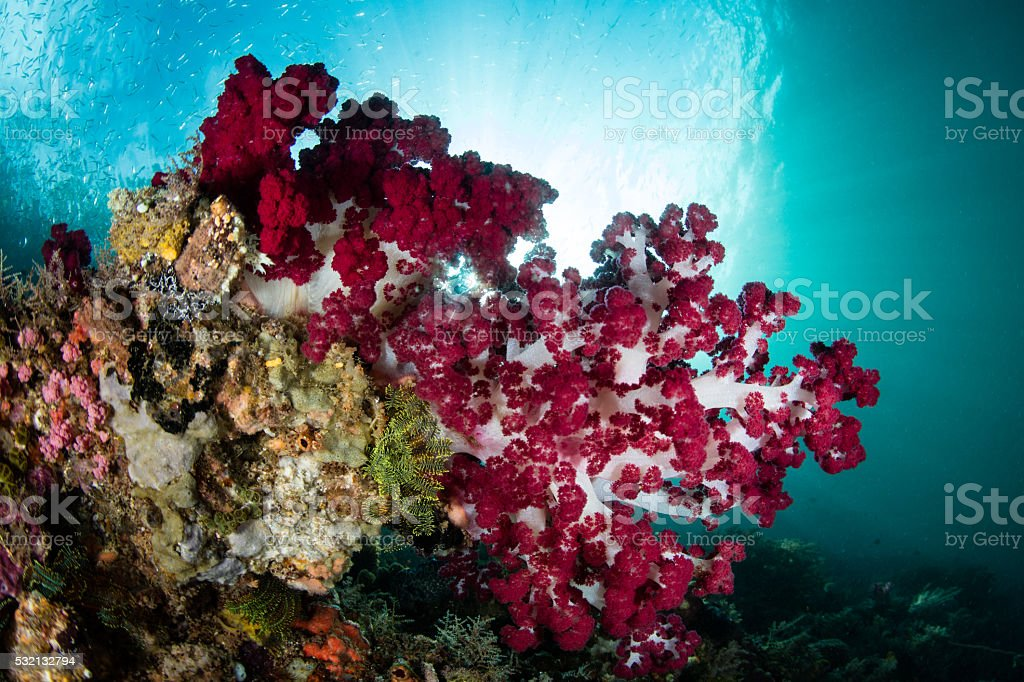 Soft Corals in Tropical Pacific stock photo