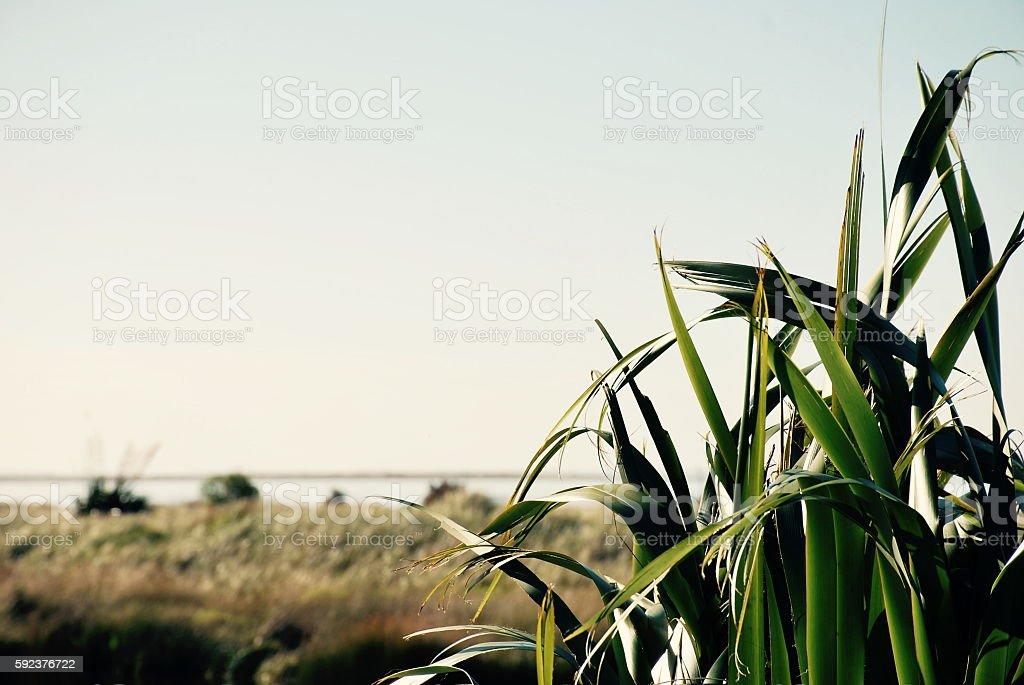 Soft Dreamy Harakeke (New Zealand Flax) Nature Background stock photo