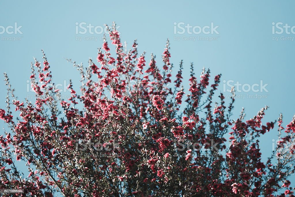 Soft Dreamy Pink Manuka Flowers stock photo
