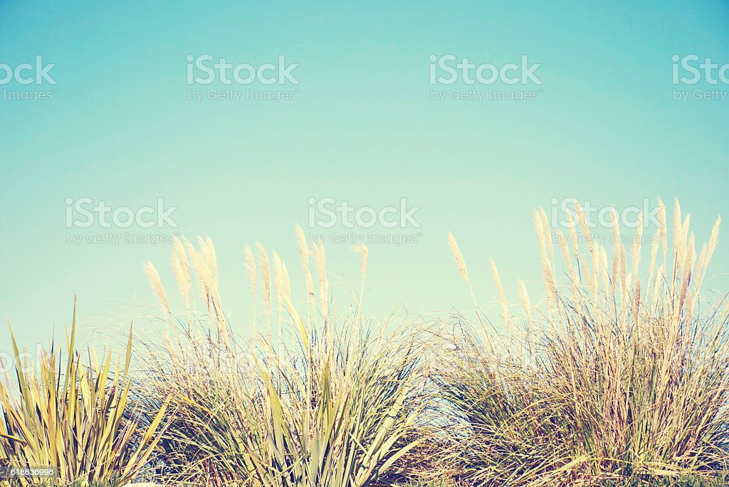 Soft Dreamy ToiToi or ToeToe Nature Background stock photo