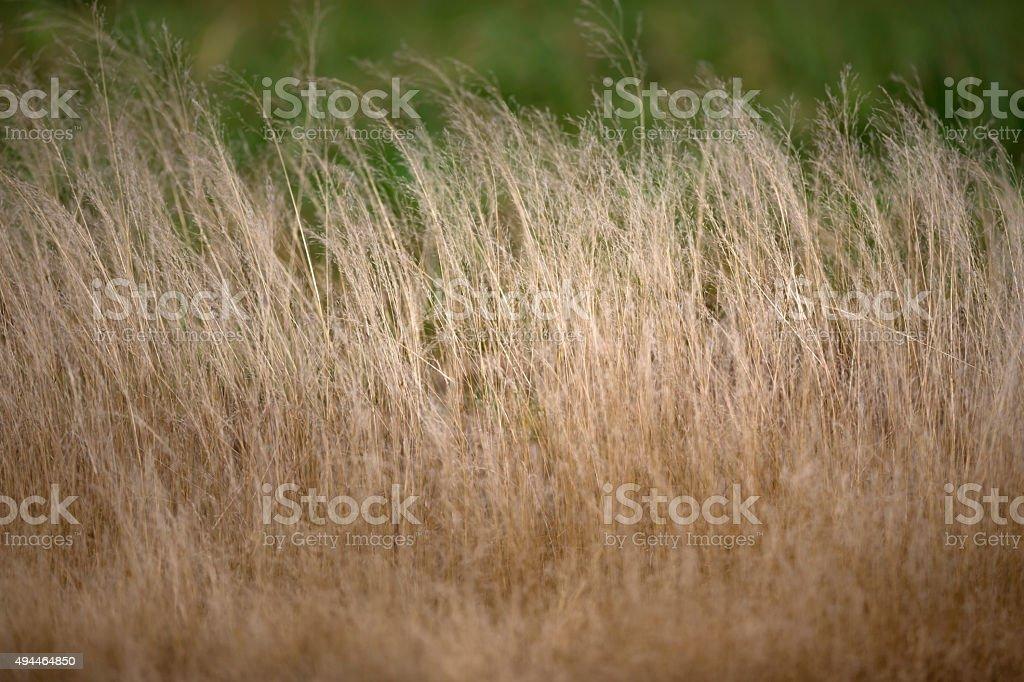 Weiches trockenes Gras Lizenzfreies stock-foto