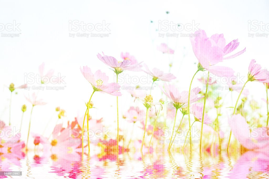 Soft focus and blurred cosmos flower on mulberry texture stock photo
