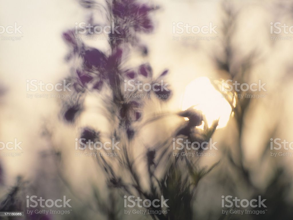 Soft focus image of a sunrise with Fireweed flower. royalty-free stock photo