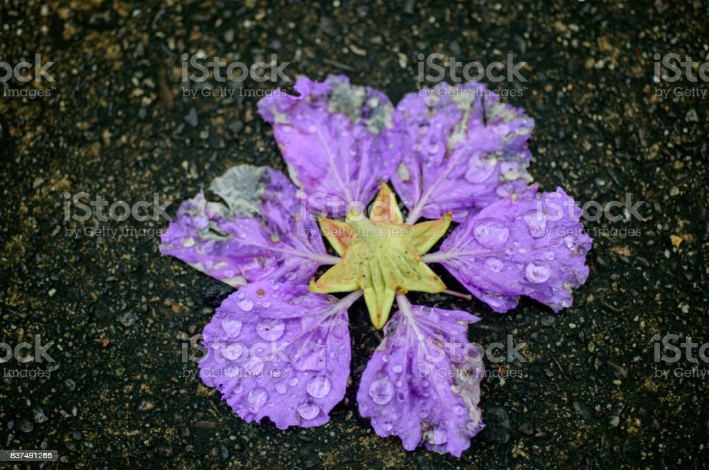 Violet color of Queen\'s crape myrtle flower on the ground