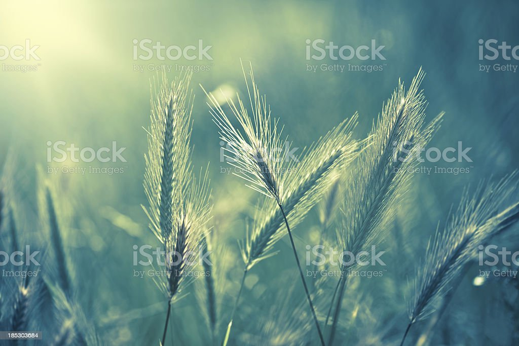 Soft focus macro toned image of fountain grass stock photo