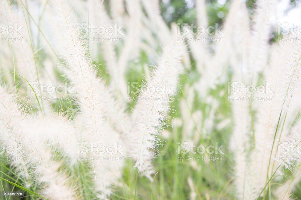 Soft Focus of Feather Pennisetum background, field grass vintage style. Стоковые фото Стоковая фотография