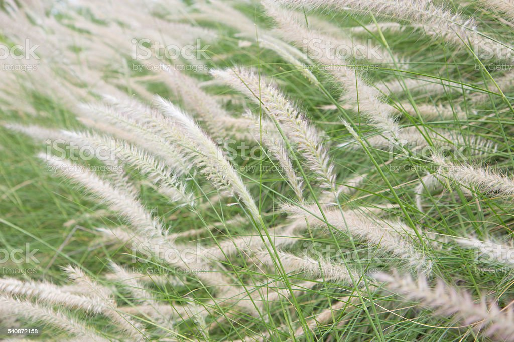Soft Focus of Feather Pennisetum background, field of grass vintage Стоковые фото Стоковая фотография