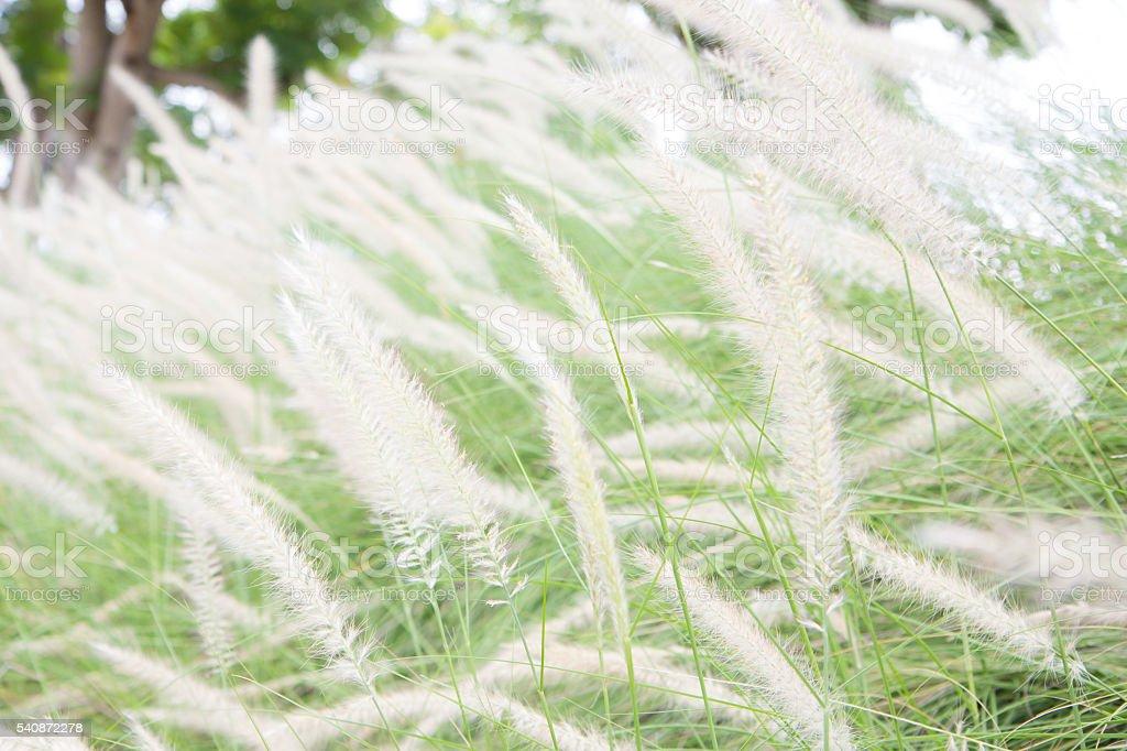 Soft Focus of Feather Pennisetum background, field of grass vintage Стоковые фото Стоковая фотография