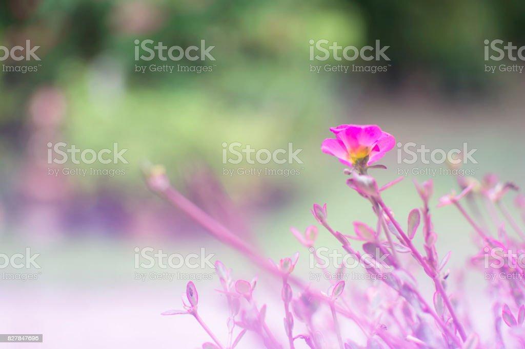 Soft focus of purple flower of Common Purslane, Verdolaga, Pigweed, Little Hogweed, Pusley (Portulaca oleraceax) in the garden stock photo