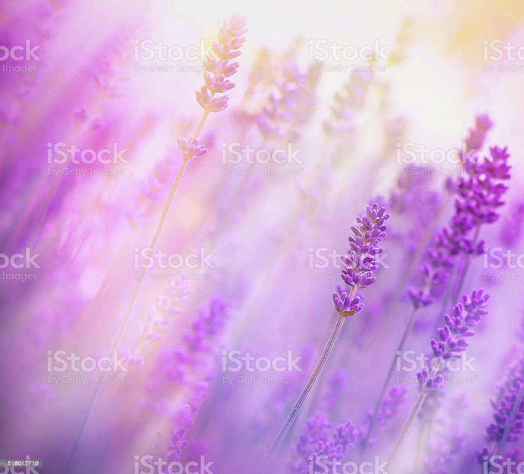 Soft focus on beautiful lavender - lit by sunbeams stock photo