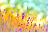Soft focus on beautiful lavender