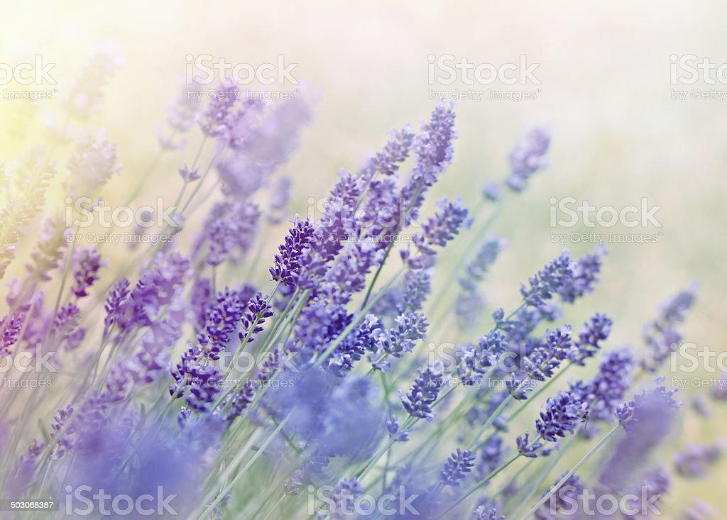 Soft focus on beautiful lavender stock photo