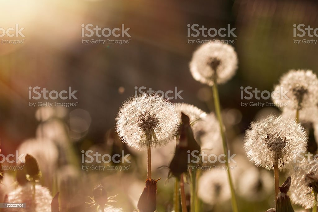 Soft focus on dandelion seeds lit by sunbeams stock photo