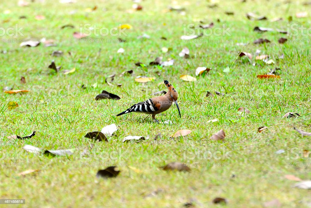 Soft focus on Hoopoe royalty-free stock photo