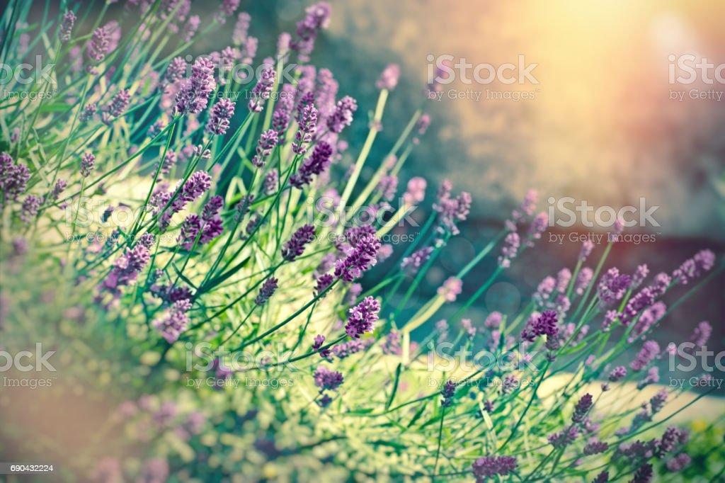 Soft focus on lavender flower lit by sunlight stock photo