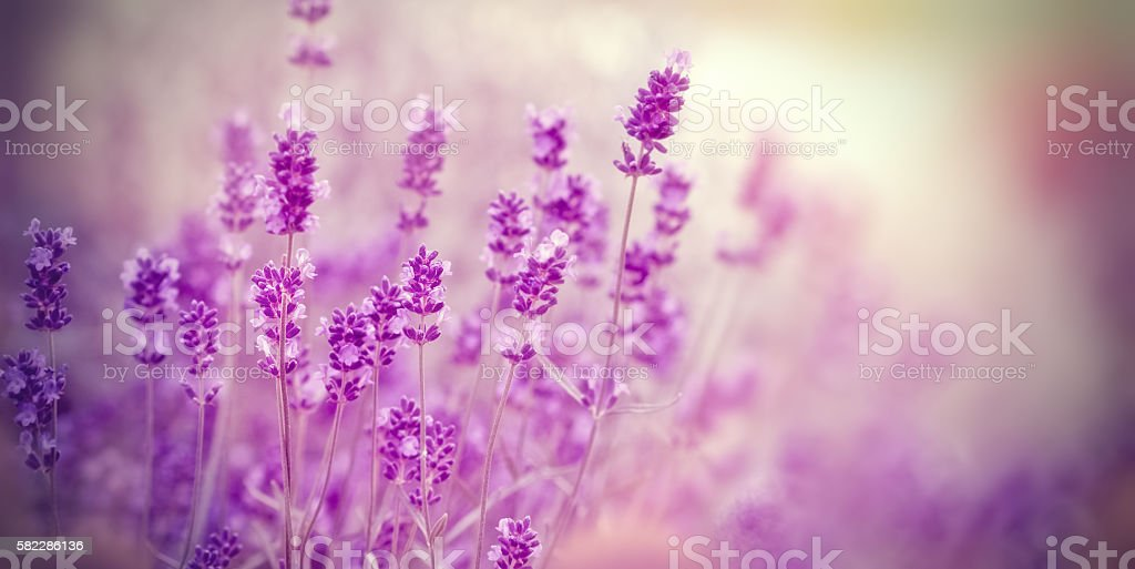 Soft focus on lavender flower stock photo