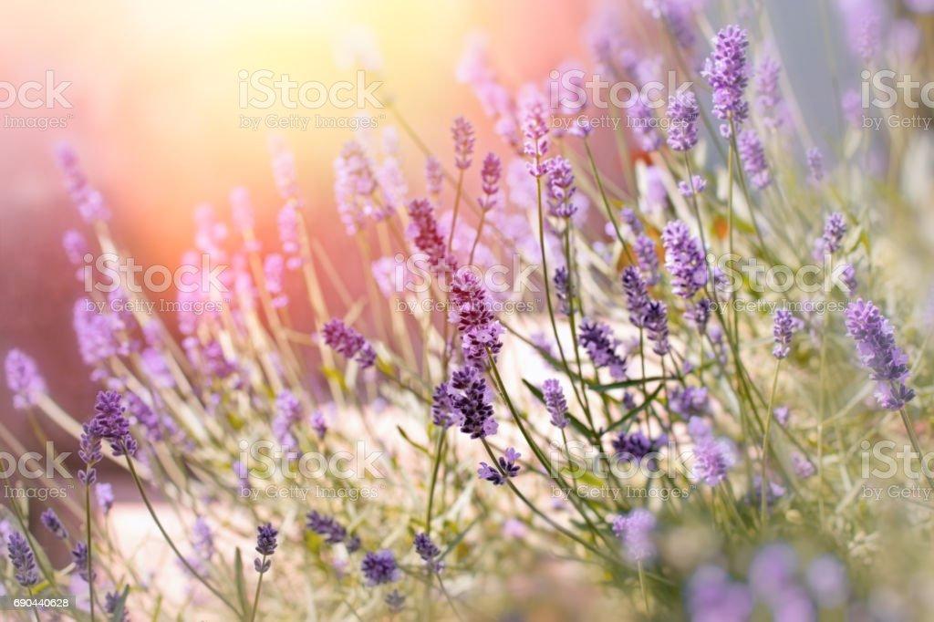 Soft focus on lavender flowers in flower garden behind my home stock photo