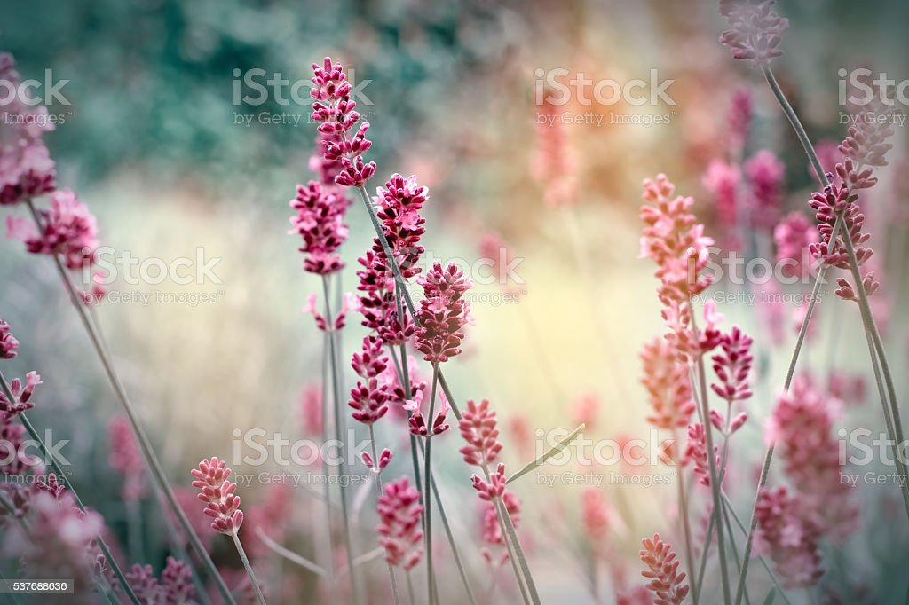Soft focus on lavender flowers stock photo