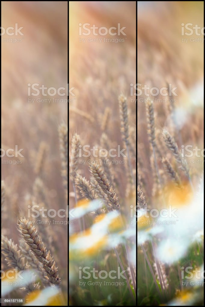Soft focus on wheat wheat field and daisy flowers - wild chamomile stock photo