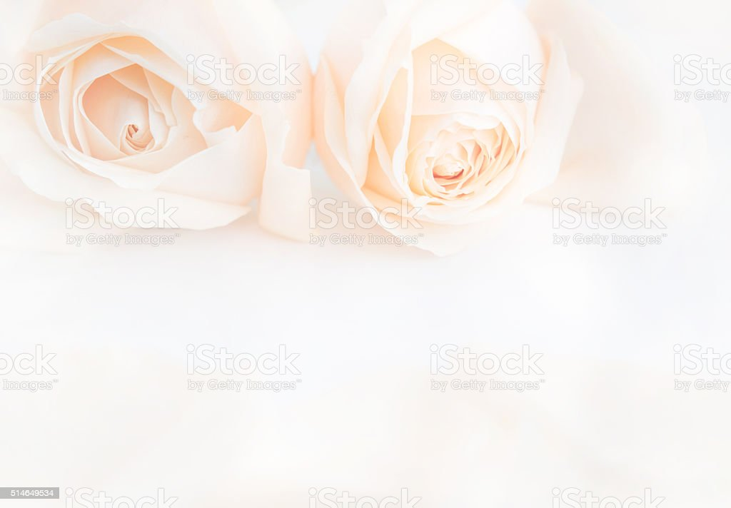 Soft full blown delicate roses as a neutral background. stock photo