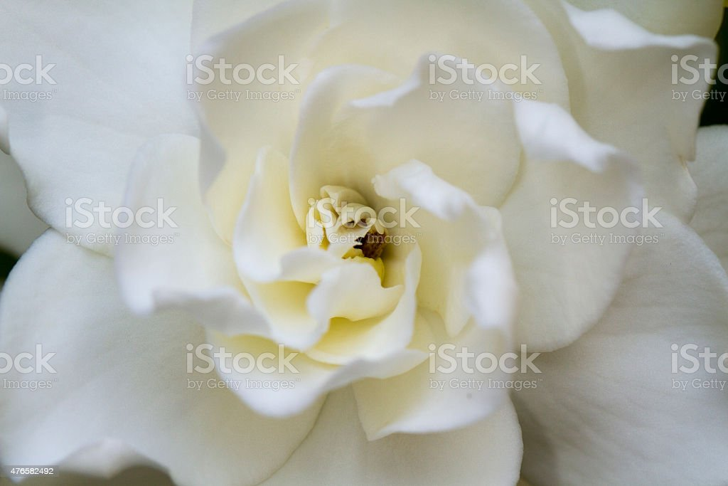 Soft Gardenia stock photo