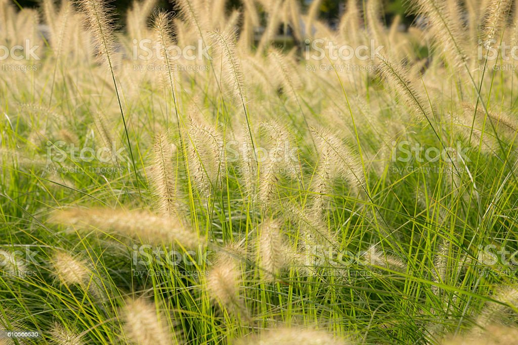 Soft gold grass in the park stock photo