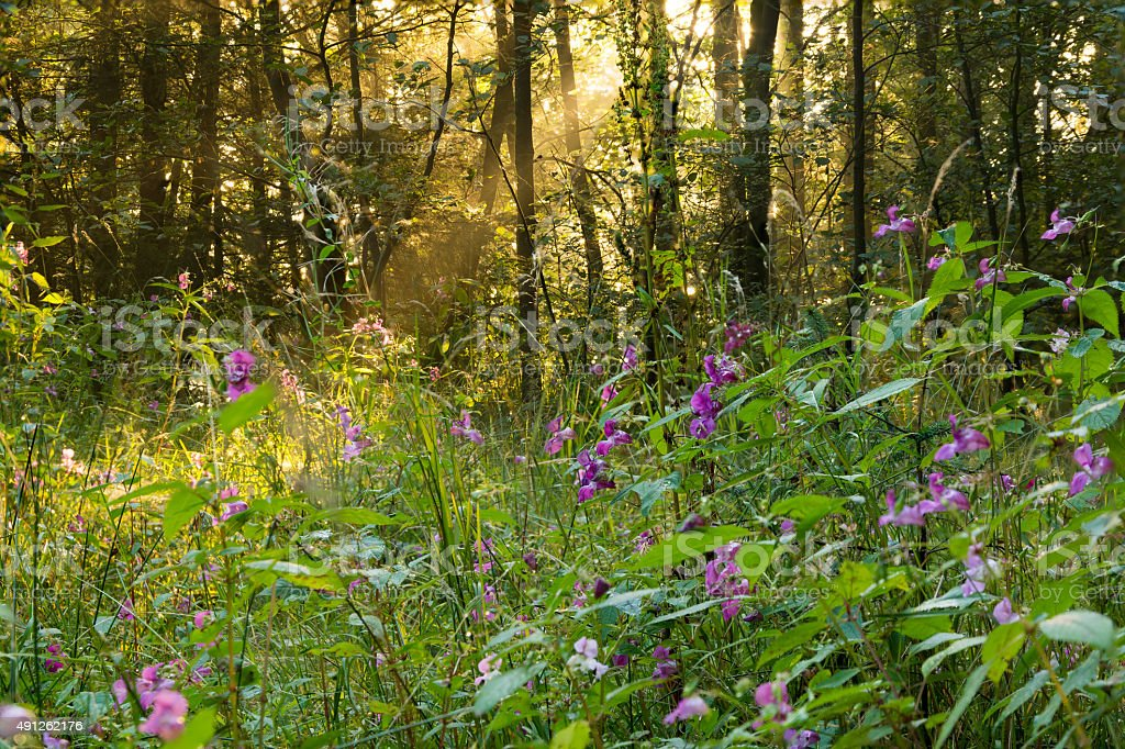 Soft Golden Light Coming Through Trees In Forest. stock photo