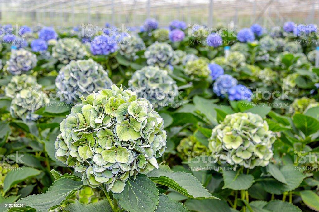Soft green flowering Hydrangea plants in a  Hydrangea cut flower stock photo