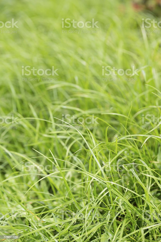 Soft green grass background royalty-free stock photo