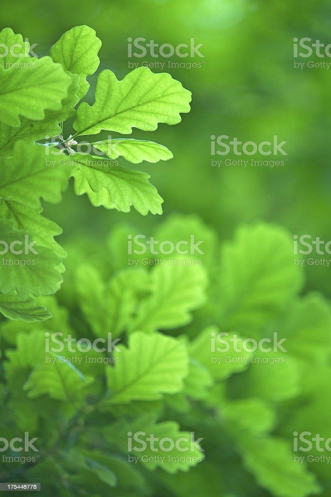 soft green oak leaves royalty-free stock photo