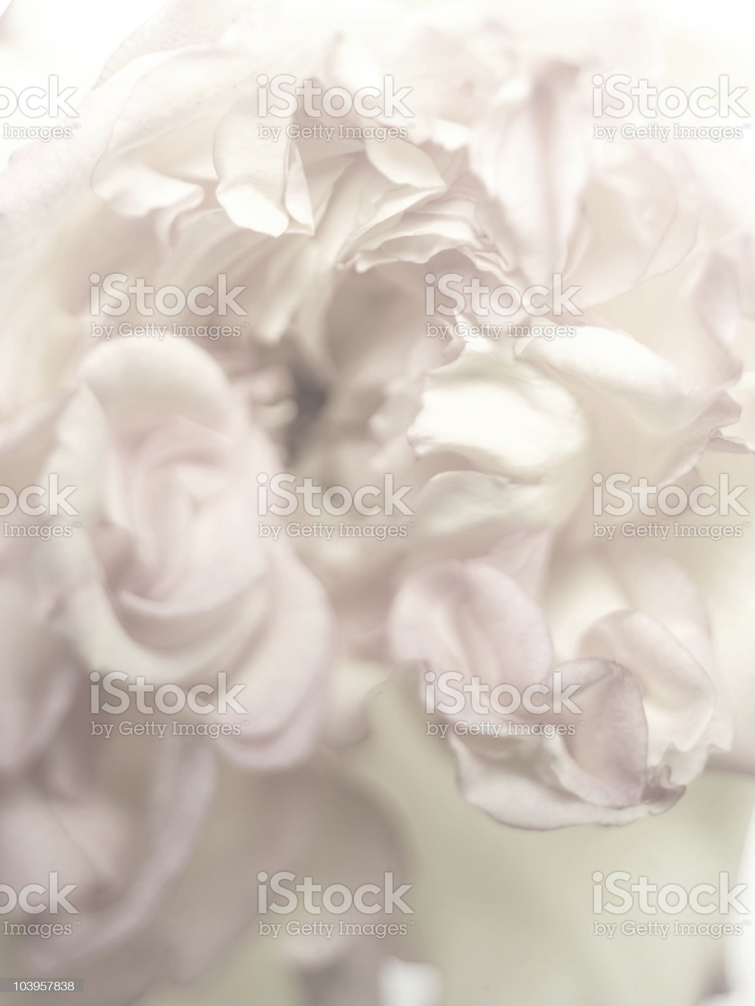 soft lit rose royalty-free stock photo
