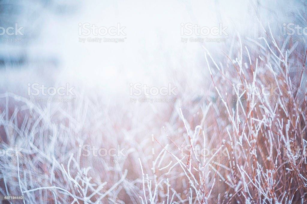 Soft nature background of grasses frozen with frost in snowstorm stock photo