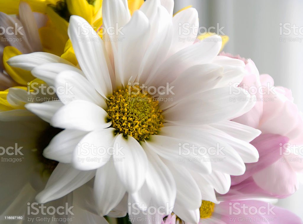 Soft Petals royalty-free stock photo